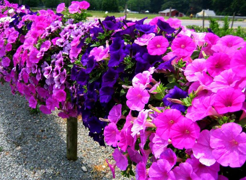 Izmirde çiçekler Ve Festivaller Bahara Merhaba Derken Izmir